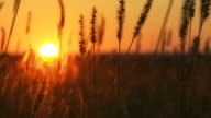 HD DOLLY: Stems Of Wheat At Sunset video