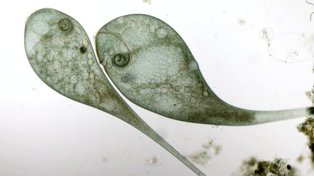Stentor coeruleus micrograph video