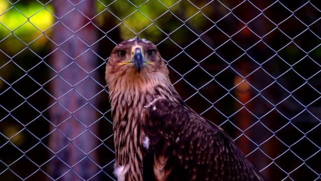 Steppe eagle (bird) quietly sits in the enclosure of the zoo. The eagle ate and so he quietly sits and looks around. video