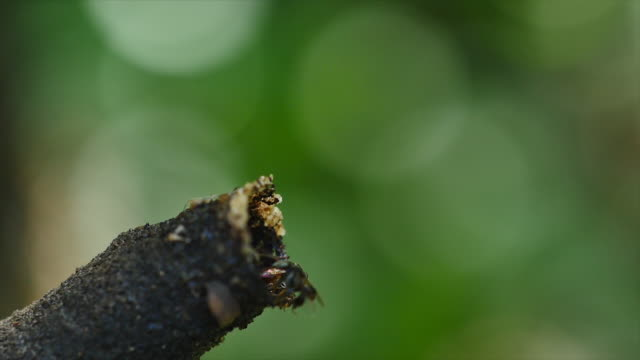 Stingless bee in the nature. video