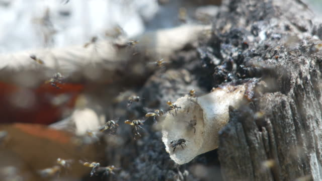 stingless bees flying around their hive video