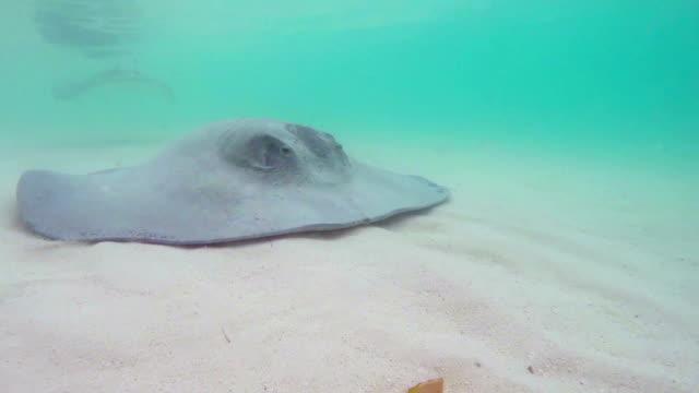 Stingray fish swimming in the sea video