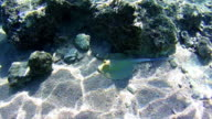 Stingray Underwater on Coral Reefs in the Red Sea, Egypt video