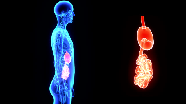 Stomach and small intestine video