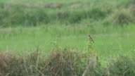 stone chat bird resting in the field video