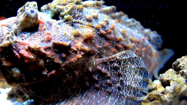 Stone Fish. video