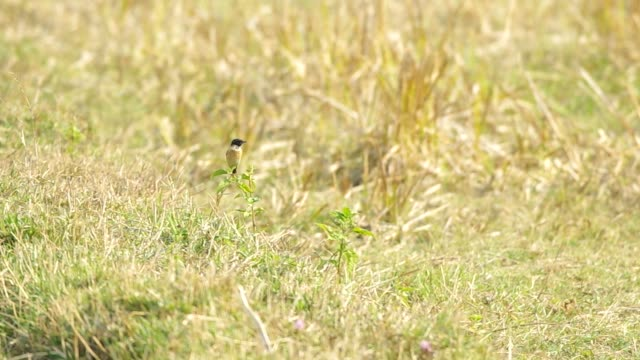 stonechat bird finding  food video