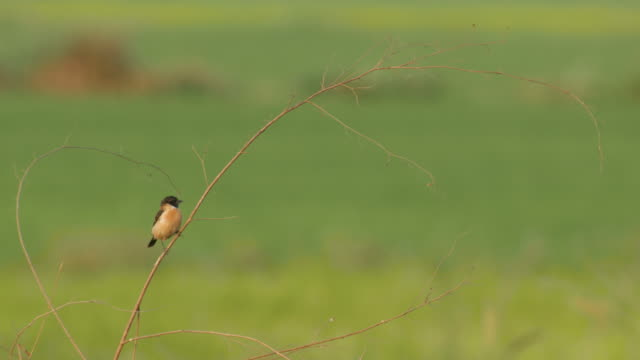 stonechat bird flying and returning on the tree branch video