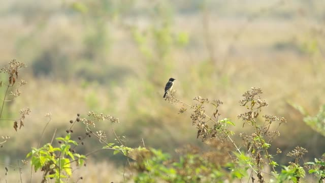 stonechat bird is staying on the top of the plant video