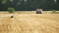 Stork and tractor on cultivated farm video