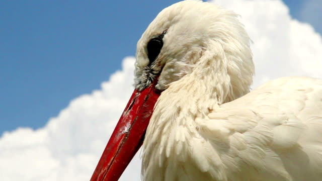 Stork head and beak close up shot. Cloudy background video