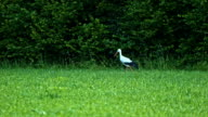 Stork Looking For Its Pray video