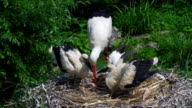 Stork spit fishes feeding babies video