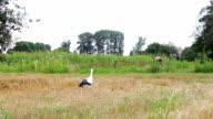 Stork walking on the field video