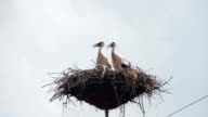Storks are Sitting in a Nest on a Pillar video