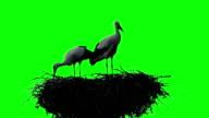 Storks birds in the nest. Green screen video