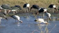 Storks Fishing video