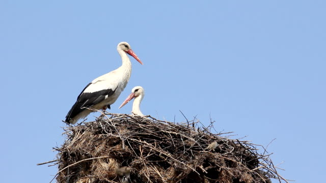 Storks in a nest video