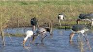 Storks wading video