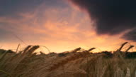 HD TIME LAPSE: Storm Clouds Over Barley Field At Sunset video