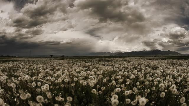 Storm over field of dandelions video