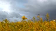 storm sky over field of wild flowers video