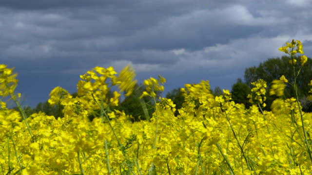 Stormy Clouds Passing Over a Canola Field video