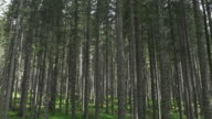 AERIAL Straight spruce trees growing from green forest floor video
