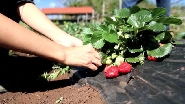 strawberries field video