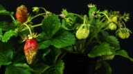 Strawberries growing in time lapse video