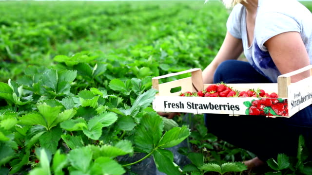 Strawberries harvest. video