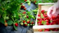 Strawberries harvest. video