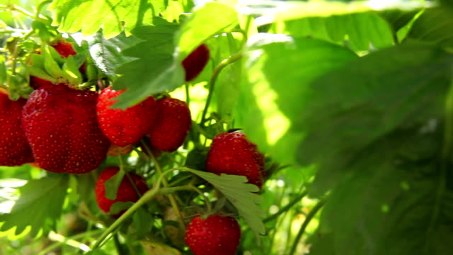 strawberries in the garden video