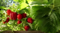 strawberries in the garden video