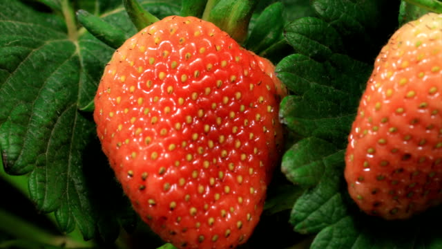 Strawberries ripen on time lapse video video