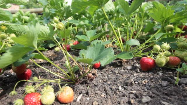 Strawberries... video