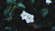 Strawberry bush with beautiful white flowers in the grass video