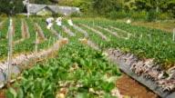 Strawberry farm , 4k(UHD) video