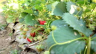 Strawberry farm, dolly shot video