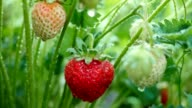 Strawberry fruits on the branch with morning dew. Shot with motorized slider. video