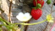 Strawberry in the farm , 4k(UHD) video