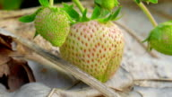 strawberry on a bush in the summer garden video