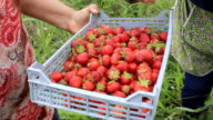 strawberry picking video