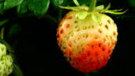 Strawberry ripen video