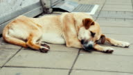 Stray dogs resting video