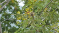 Streak-eared Bulbul eating flower video