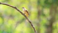 Streak-eared Bulbul (Pycnonotus blanfordi) in nature video