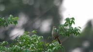 Streak-eared Bulbul is scouting video