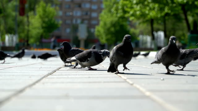 street pigeons eat the bread crumbs in the park video