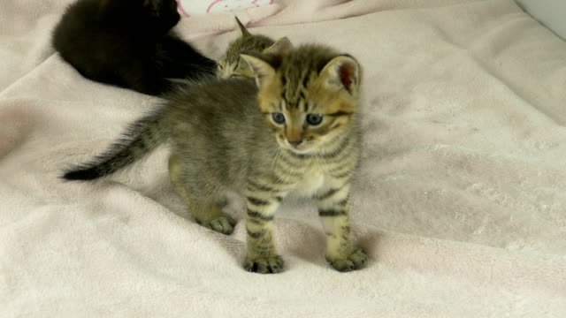 Striped and black kittens on pink blanket video